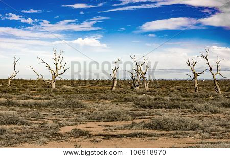Isolated Trees On The Desert