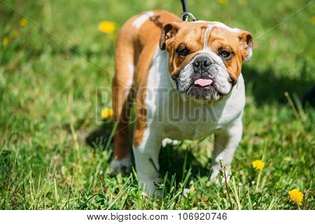 White and Red English Bulldog Dog In Green Grass Outdoor