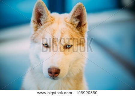 Close Up White And Red Husky Puppy Eskimo Dog