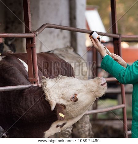 Veterinarian With Syringe And Bull