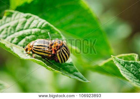 Macro Shot Of Potato Bug On Leaf