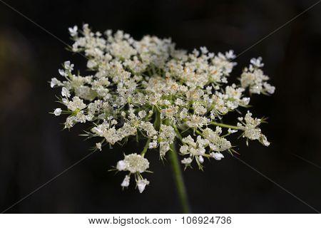 White Elderberry Flowers
