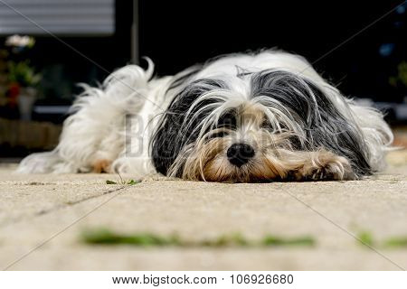 Tibetan Terrier On The Porch