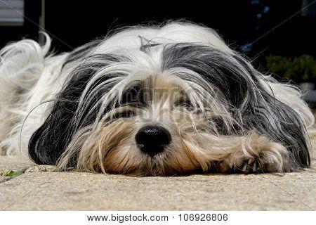 Tibetan Terrier Close Up