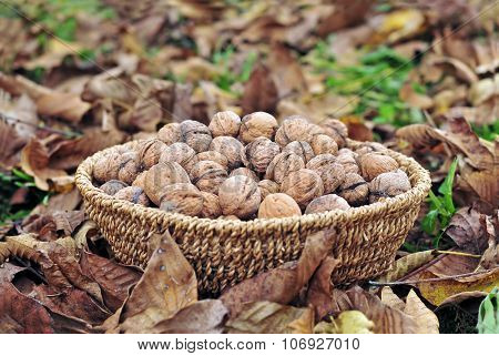 Harvested Walnuts In A Basket