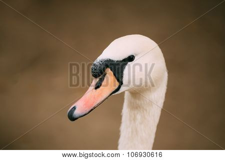 Close up of white wild swan bird