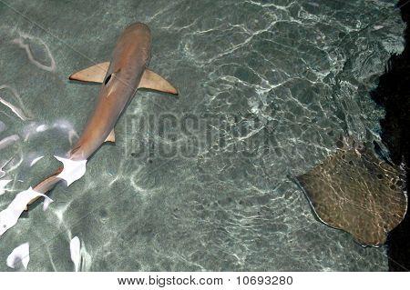 Baby Blacktip Shark and Stingray