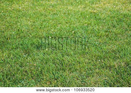 Background of a green grass green grass texture