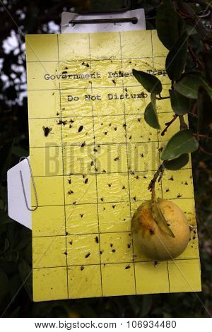 BAKERSFIELD, CA - AUG 28, 2015: A government insect trap attached to a citrus tree collecting insects for inspection of destructive pest and counting purposes.
