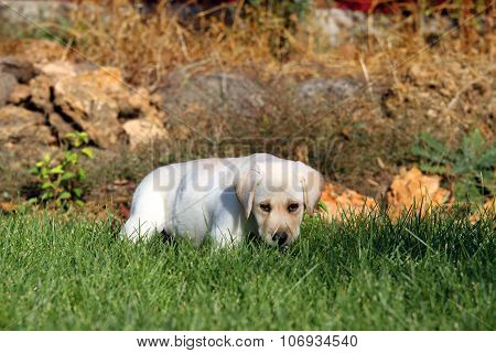 The Little Nice Yellow Labrador Puppy Playing In Green Grass
