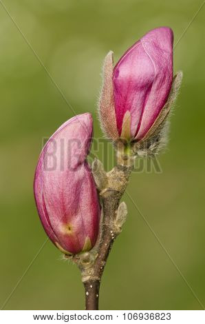 Pink Buds Of Magnolia Flowers