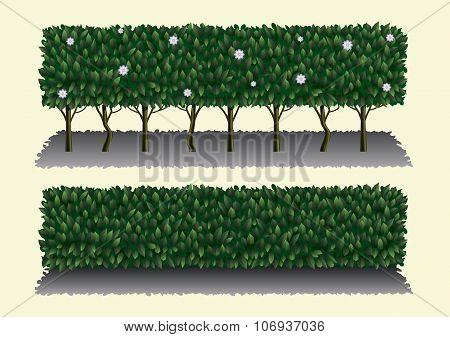 Long Hibiscus Bush