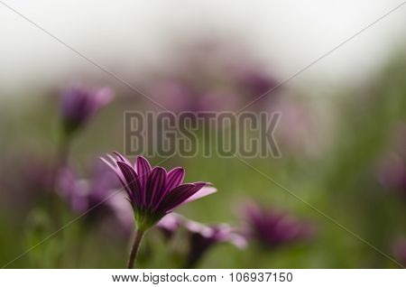 Dimorphoteca Flower Garden