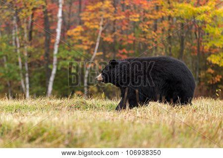 Adult Female Black Bear (ursus Americanus) Walks Left