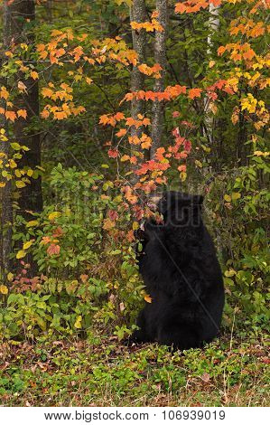 Adult Female Black Bear (ursus Americanus) Chews On Branch