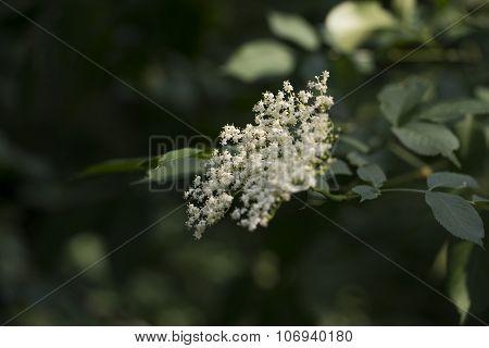 White Elderberry Flowers And Leaves