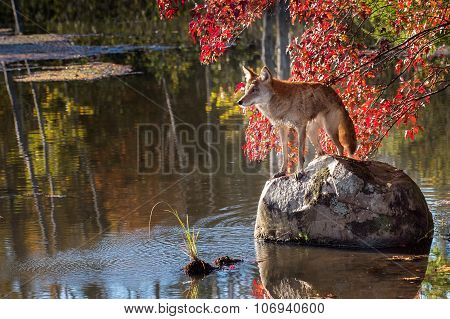 Coyote (canis Latrans) Stands On Rock