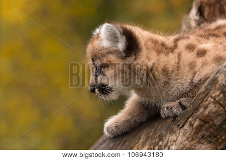 Female Cougar Kitten (puma Concolor) Looks Left