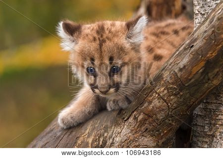 Female Cougar Kitten (puma Concolor) Sits In Tree
