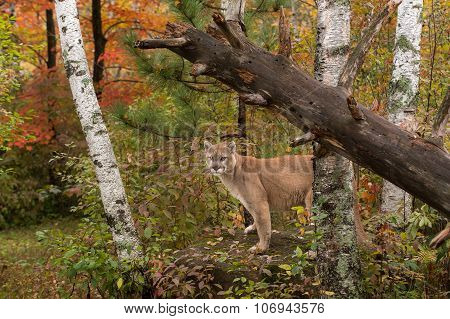 Adult Male Cougar (puma Concolor) Stands On Rock