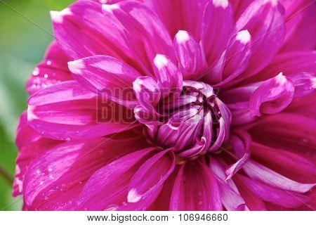 fresh purple dhalia flowers closeup background