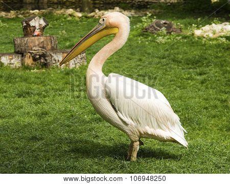 Pelican in zoo closeup