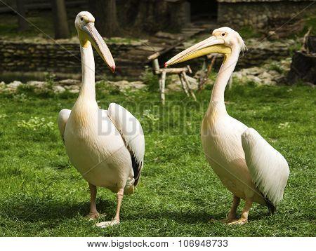 Pelicans in zoo closeup