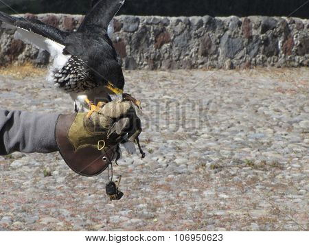 Curiquingue/ Caracara Bird.  Bird Of Prey