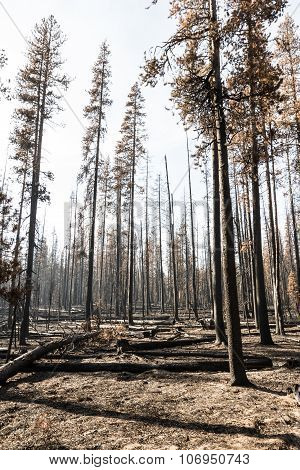 The Forest After A Wild Fire