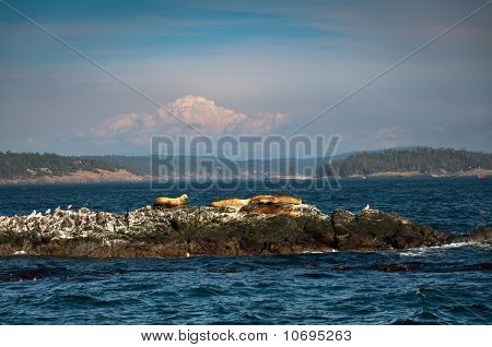 Sea Lions And Birds On An Islet In Puget Sound