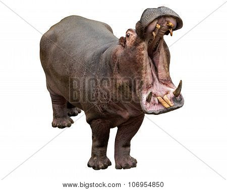 Hippo Opening Jaws On The White Background