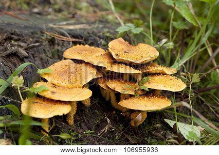 Pholiota Flammans