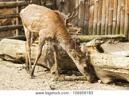 Deer closeup view