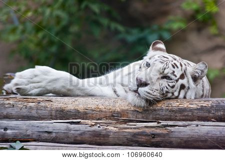 White tiger lying on wood