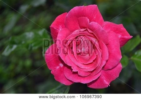 Red rose heart