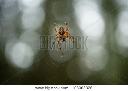 Common Forest Spider Spins Web In The Woods