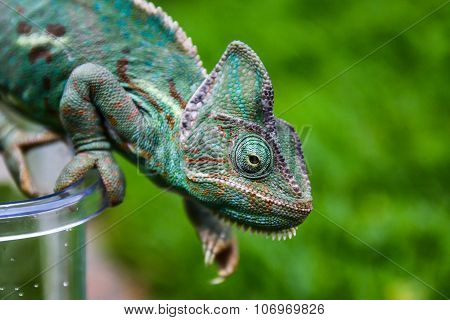 Green chameleon in green background