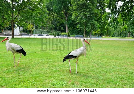 Storks On The Meadow In A Summer Park