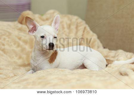 Chihuahua Winks