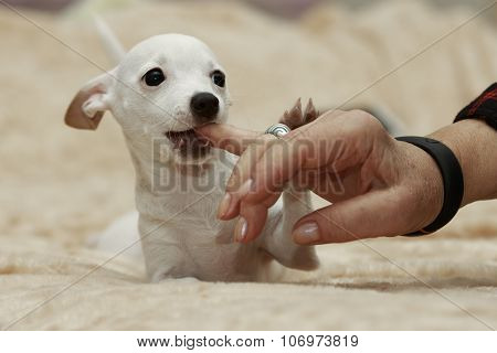 Dog Chews A Finger