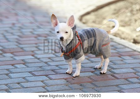 Dressed Chihuahua At Street
