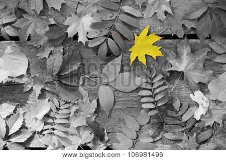 Yellow maple leaf amongst black and white autumn leaves