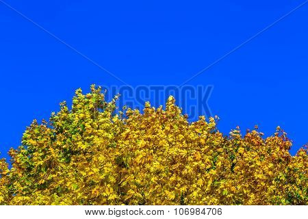 Crown Of Tree With Yellow Leaves