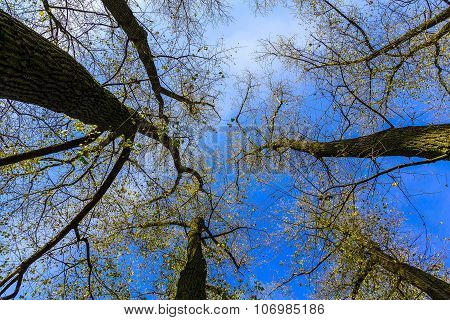Tree Crowns With Branches At Sky Backdrop