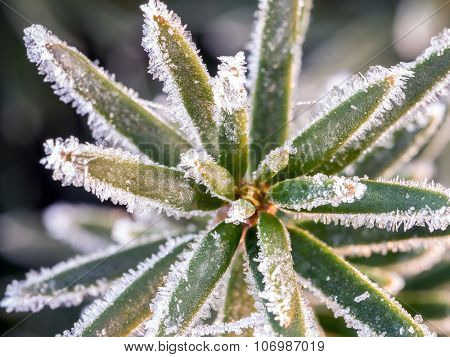 Closeup of yew needles covered with morning frost