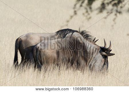 Blue Wildebeests In Grass