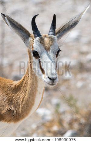 Impala Head Close Up