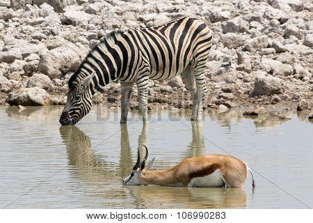 Zebra And Springbok Drinking