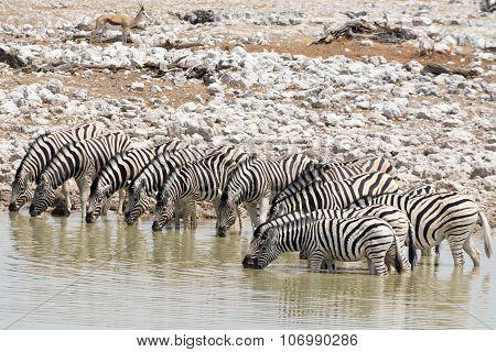 Bunch Of Drinking Zebras