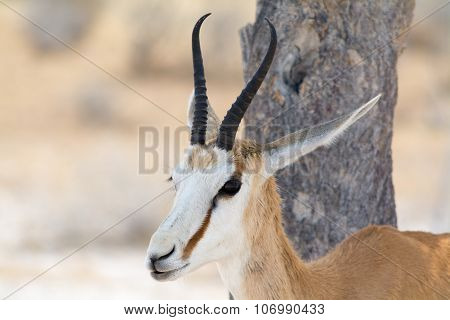 Springbok Portrait In Front Of A Tree